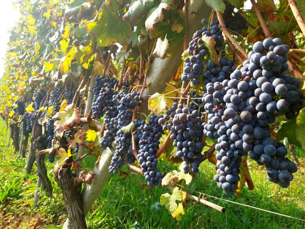 vignes de barolo piémont