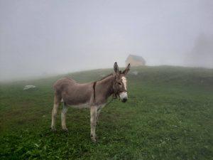 Âne dans le brouillard alpin